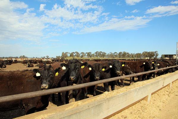niksan-cattle-feeding-a