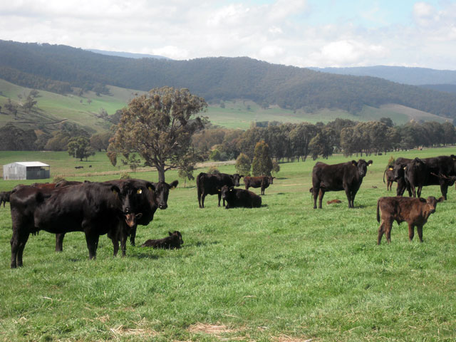 sher-wagyu-cow-and-calf-ballan-oct-2009